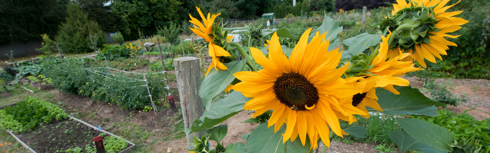 sunflower plant with garden in background